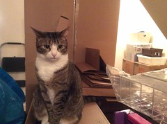 Amelia #cat amidst moving boxes