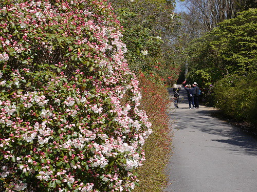 2015-04-23 Azaleas on Main Drive(10) © Dave Marsh