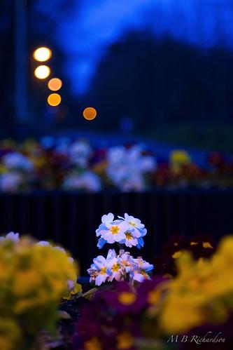 flowers sunset nireland antrim coantrim canon6d 365in2015