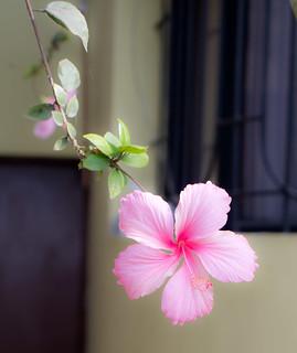 Pink Flower at La Punta Seafront