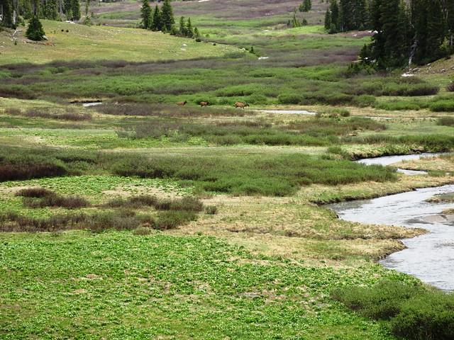 Elk crossing meadow
