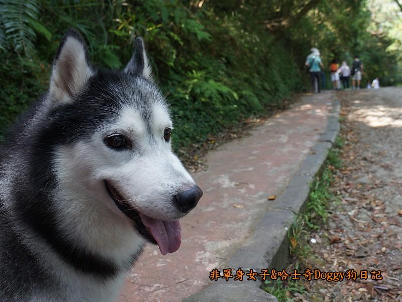 哈士奇Doggy2013陽明山二子坪08