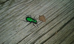 Six-spotted Tiger Beetle 2