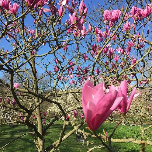 Magnolias everywhere