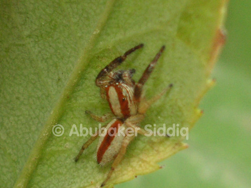 A very small jumping Spider found on leave of a rose plant