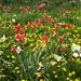 Pissanlits et tulips dans le pré