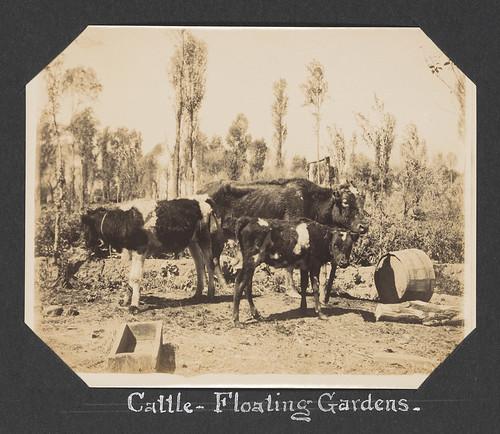 Cattle - Floating Gardens.