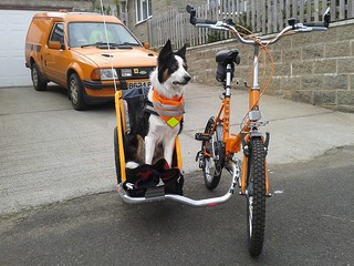Border Collie in Sidecar