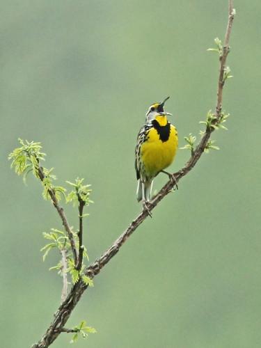 Eastern Meadowlark 5-20150409