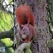 Eichhörnchen (4)