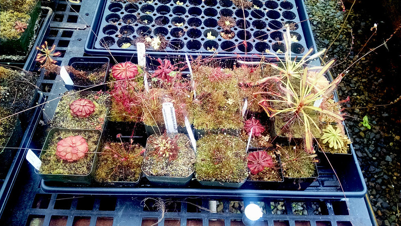 Various sundews at Predatory Plants.
