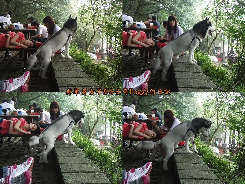 哈士奇Doggy2012陽明山二子坪07