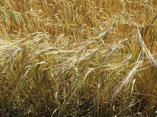 Barley - note the long awns