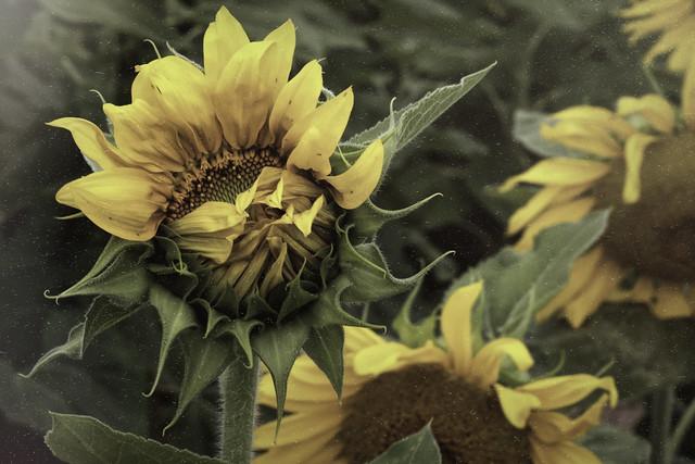 2016 7 31 - Sunflower Farm 2015 - Topaz TE - Fading Truck - 9S3A6570