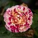 Rose by Reconstructing Light