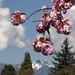 Cherry blossom peaking by LuMi_67