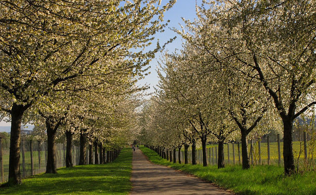 Avenue of blooming Wild Cherry Trees