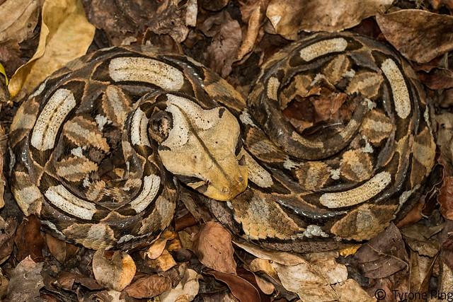 Bitis gabonica - East African Gaboon Viper