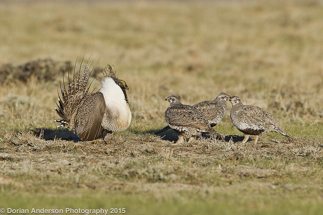 Greater sage-grouse male w/ 3 hens