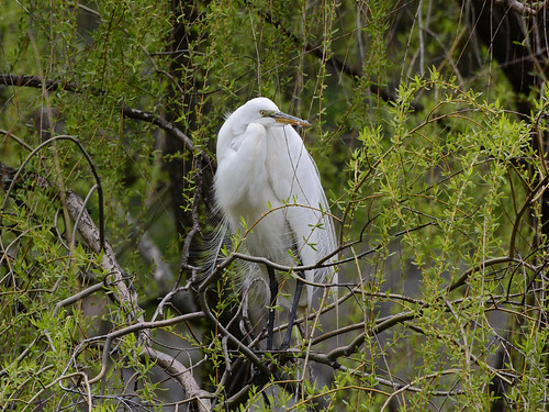 Morningside Egret - 9141