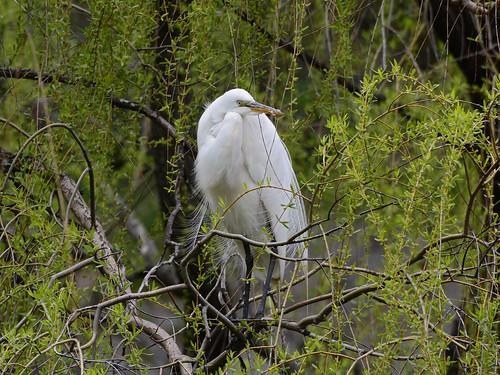 Morningside Egret - 9141