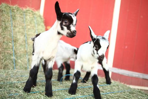 Chivas Skin Care - Baby Goats