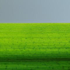 feuille d'iris