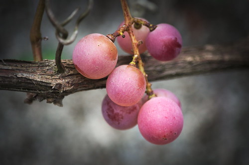 Red_wine_grapes