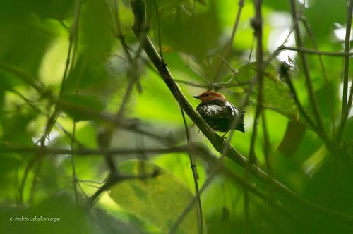 nature colombia birding aves birdwatching risaralda sutu passeriformes pipridae clubwingedmanakin machaeropterusdeliciosus mistrato andrescv arnulfosanchez cascadasutú saltarinrelampago