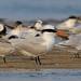 Royal Tern, Bahia la Ventosa, Oaxaca, Mexico por Terathopius