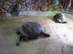 animal, turtle, zoo, reptile, fauna, wildlife, tortoise,