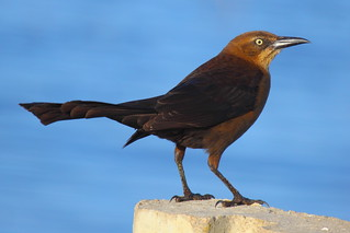 IMG_8632 Brown-Headed Cowbird, Merced National Wildlife Refuge