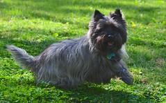 dog breed, animal, dog, pet, vulnerable native breeds, norwich terrier, cairn terrier, australian terrier, affenpinscher, carnivoran, terrier,