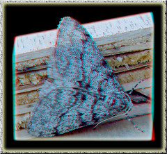 Unidentified Gray Moth 1 - Anaglyph 3D