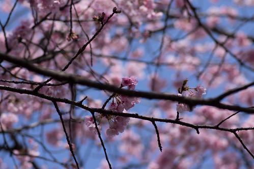 _IMG0589桜