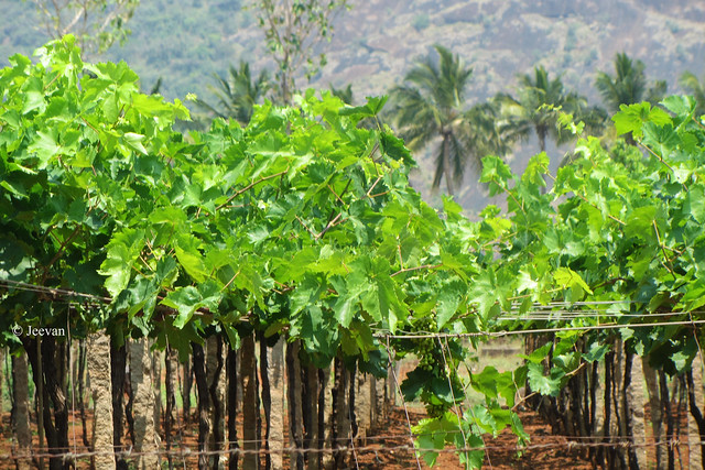 Grapevines at Chinnamanur, Theni