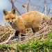 Red Fox Kit by jsaraceno1971