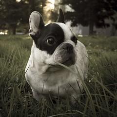 dog breed, animal, dog, pet, mammal, french bulldog, boston terrier, bulldog,