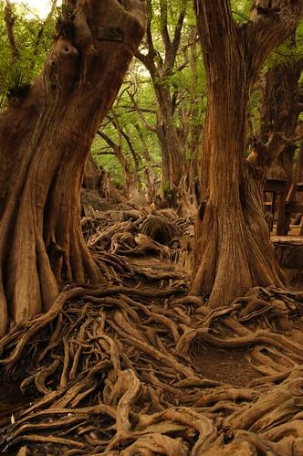 park wood méxico mexico bosque michoacán raíz camecuaro marcowence