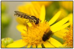 Hoverfly on Ragwort