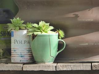 1P wider succulents 854