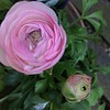 Another ranunculus - and there was a buzzard soaring overhead while I took this picture.