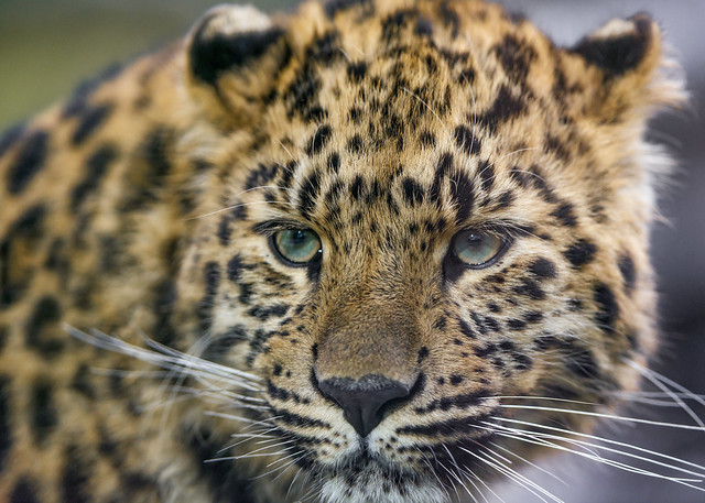 Closeup of one of the young leopardesses