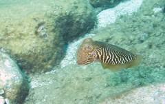 coral(0.0), coral reef fish(0.0), pomacanthidae(0.0), coral reef(1.0), animal(1.0), fish(1.0), organism(1.0), marine biology(1.0), invertebrate(1.0), fauna(1.0), cuttlefish(1.0), underwater(1.0), reef(1.0),