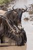 Thirsty wildebeests