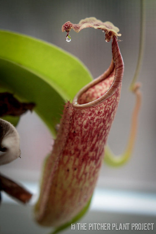 Private Nepenthes Collection