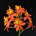 Epidendrum Joseph Li type