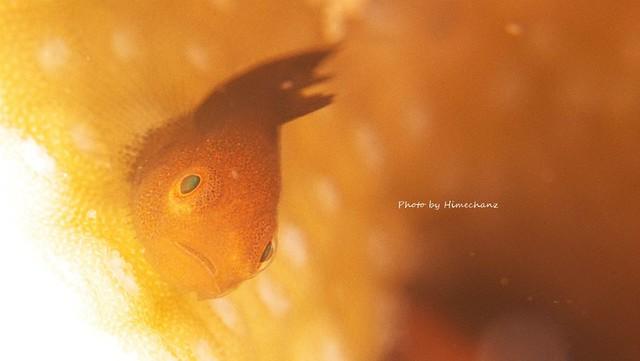 ダルマハゼ幼魚♪