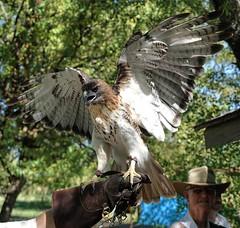 red tailed hawk #iLikeBirds