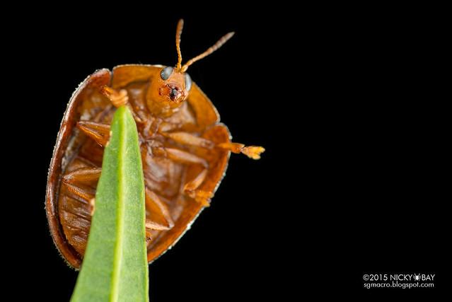 Curry leaf tortoise beetle (Silana farinosa) - DSC_7459